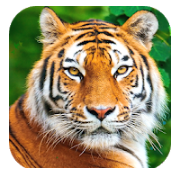 tiger background hd images, Tiger background hd images No 1 Best App