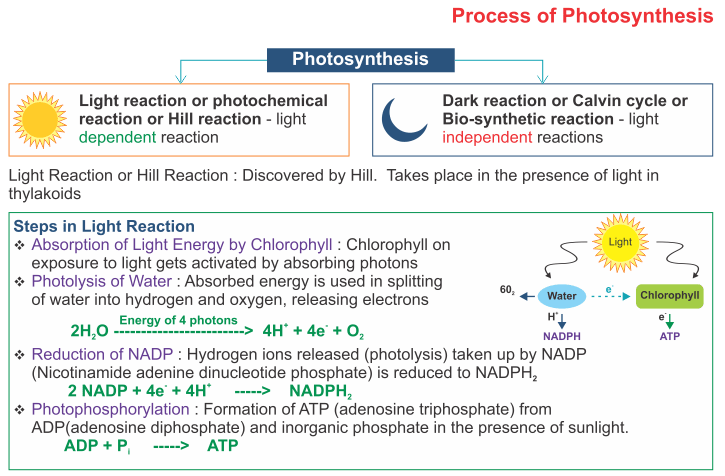 Icse Solutions For Class 10 Biology Photosynthesis A