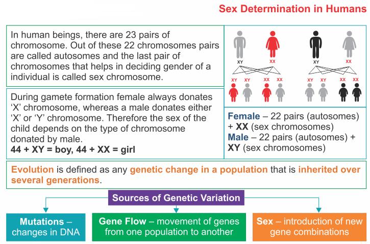 sex determination and sex chromosomes xx in Drummondville