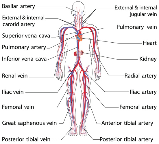Schematic Systemic Arterial Circulation Blood Vessels