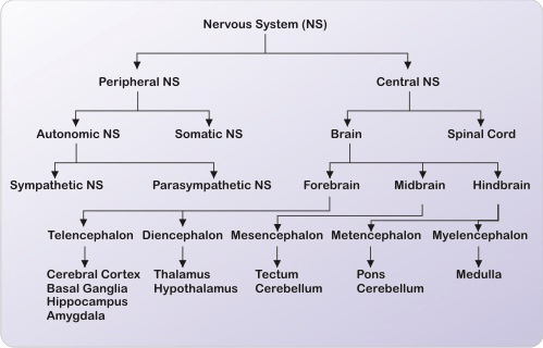 ICSE Solutions for Class 10 Biology - The Nervous System and