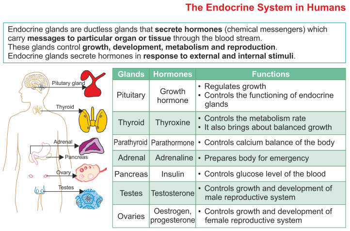 Icse Solutions For Class 10 Biology The Endocrine System A