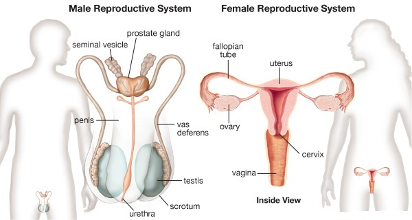 Icse Solutions For Class 10 Biology The Reproductive System A