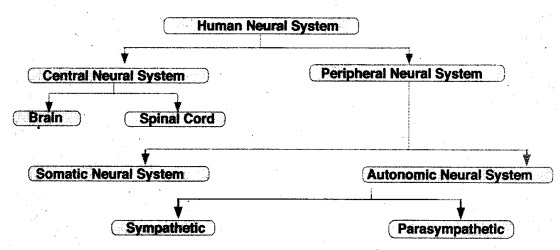 HSSLiVE Plus One Zoology Chapter Wise Previous Questions Chapter 10 Neural Control and Coordination 2