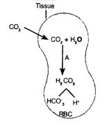 HSSLiVE Plus One Zoology Chapter Wise Previous Questions Chapter 6 Breathing and Exchange of Gases 1