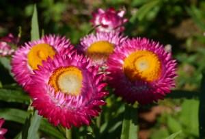 heilfplanzen-auf-die-schon-die-alten-römer-vertrauten-strohblume