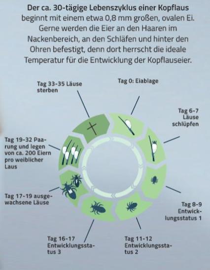 Lebenszyklus von Läusen. Kopfläuse