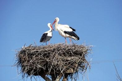 Zwei Störche im Nest. Neusiedler See Radweg