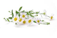 Kamillenblüten auf weißem Hintergrund. Jucken