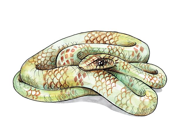 Illustration einer zusammengekringelten Schlange auf weißem Hintergrund. Indianer-Horoskop im Oktober
