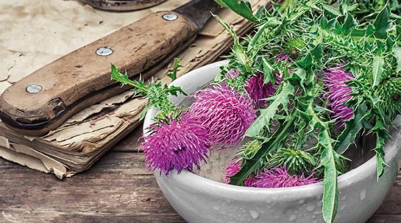 Heilpflanze Mariendistel in weißer Schüssel. Mariendistel auf Holztisch