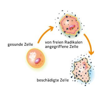 Illustration von gesunden und von freien Radikalen angegriffenen Zellen. freie Radikale