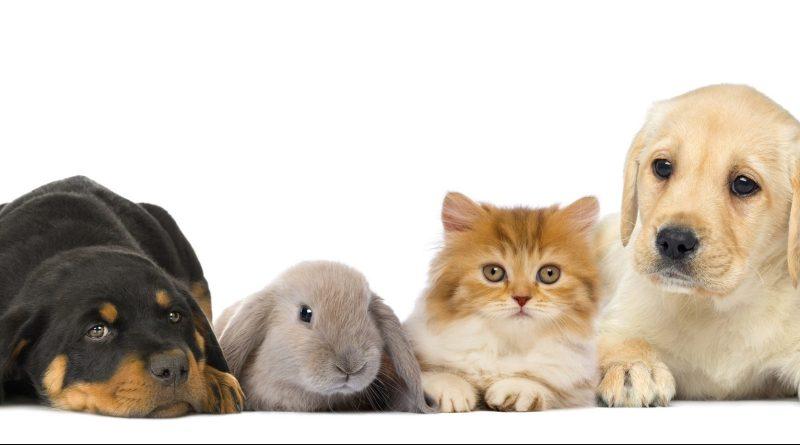 Gruppe von Haustieren auf weißem Hintergrund. Hunde, Katze, Hase. Fellwechsel bei Haustieren