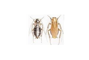 Καταπολέμηση κατσαρίδας
