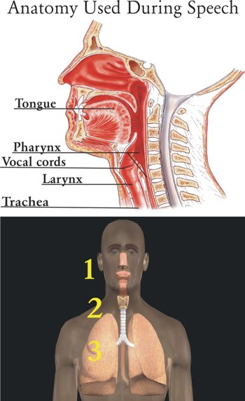 Anatomy Used During Speech