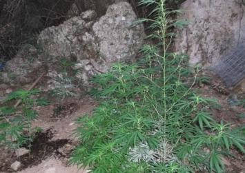 Ρέθυμνο: 85 δενδρύλλια κάνναβης σε ορεινή περιοχή – Αναζητούνται οι δράστες