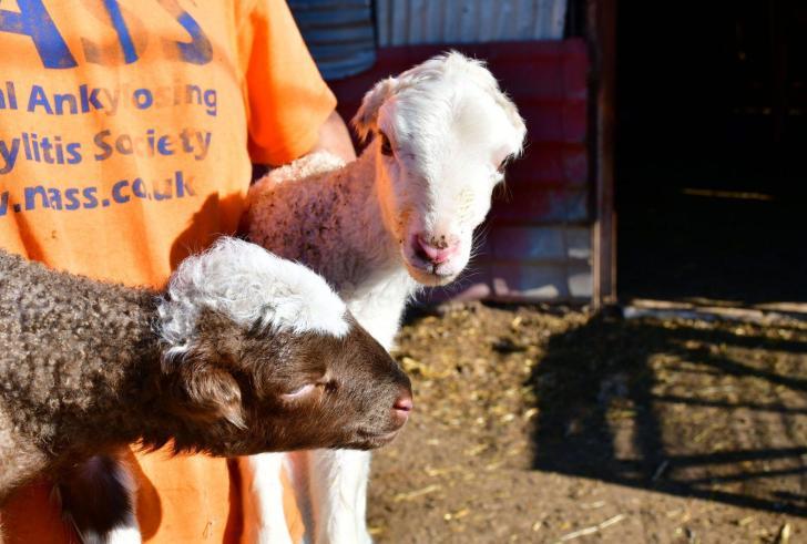 Απίστευτο: Αρνάκια γεννήθηκαν χωρίς αυτιά  ( Φωτό )