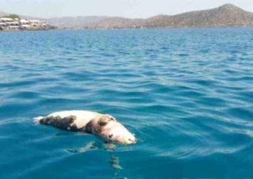 Κρήτη: Πέρασαν σχοινί με πέτρες στο λαιμό φώκιας