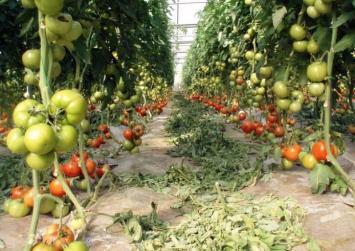 Κρήτη: Έκλεψε από θερμοκήπιο πάνω από έναν τόνο ντομάτες και έγινε καπνός