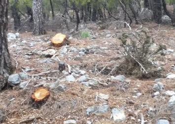 Παράνομη υλοτόμηση: Το πευκοδάσος του Ζαρού εκπέμπει SOS