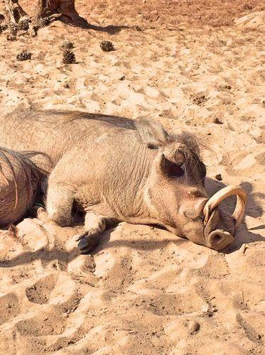Warthog at Badoca Safari Park