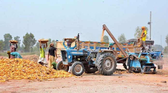 FAISALABAD: August 26 - Laborers busy in threshing maize in the field. APP photo by Tasawar Abbas