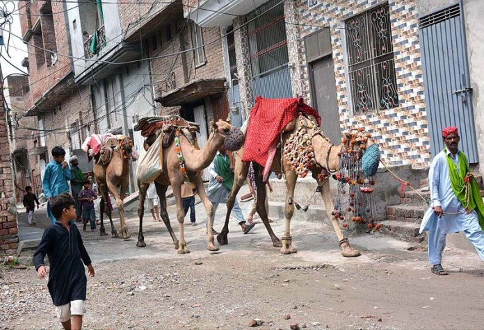 FAISALABAD: August 24 - A person along with camels on the way at Nishatabad. APP photo by Tasawar Abbas