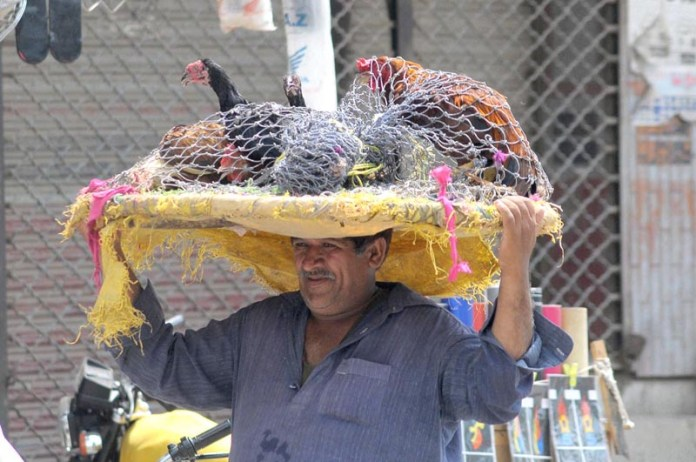 MULTAN: August 28 - A vendor carrying a basket of roosters on his head while shuttling at bird market. APP photo by Qasim Ghauri