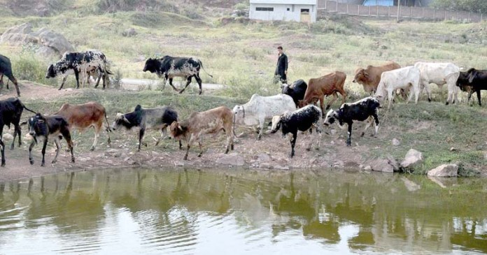RAWALPINDI: August 28 – A shepherd directs a herd of cows and bulls for grazing in the field in the outskirts of the city. APP photo by Abid Zia