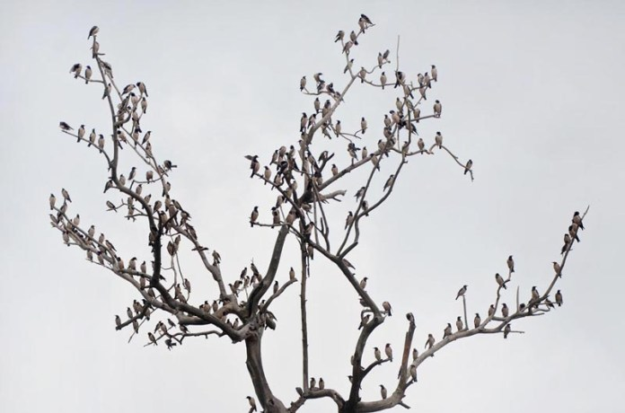 LAHORE: August 27 - A flock of birds sitting on the dry branches of tree. APP Photo by Ashraf Ch