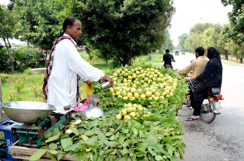 LAHORE: September 13 – Vendor busy in showering water on the seasonal fruit Guava to keep them fresh at his roadside setup. APP photo by Ashraf Ch