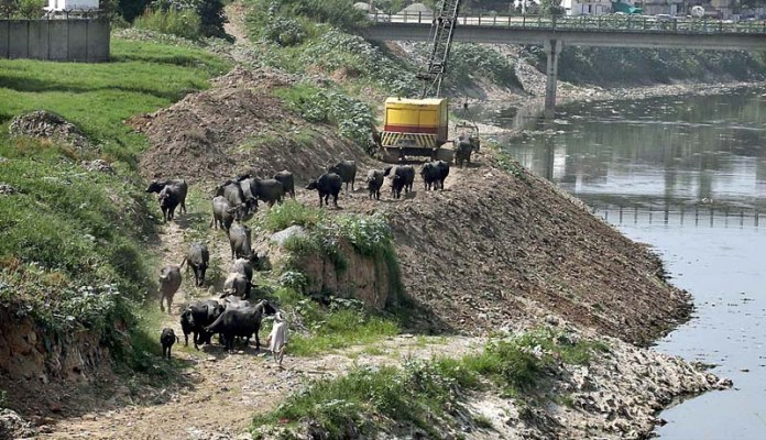 RAWALPINDI: September 16 - A herd of buffalos walking on the banks of Nullah Lai for drinking and bathing at Moti Mah area. APP photo by Abid Zia