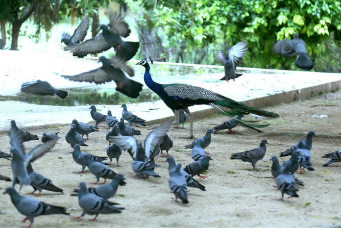 HYDERABAD: September 04 – A view of beautiful peacock and pigeons during cloudy weather at Hayat Baba Shrine. APP photo by Akram Ali