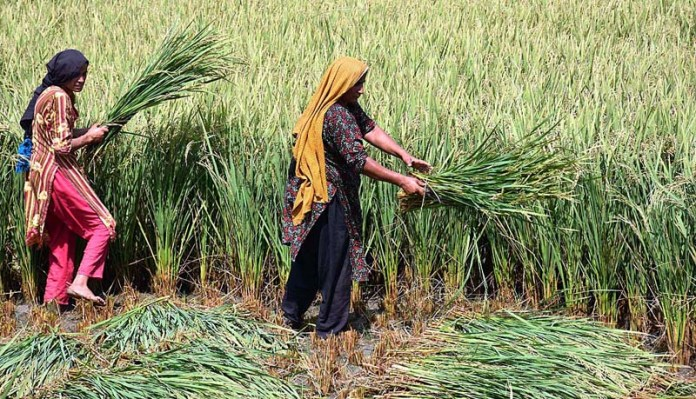 LARKANA: September 29 - Female farmers harvesting the rice crop at their field near Ratoder. APP photo by Nadeem Akhtar