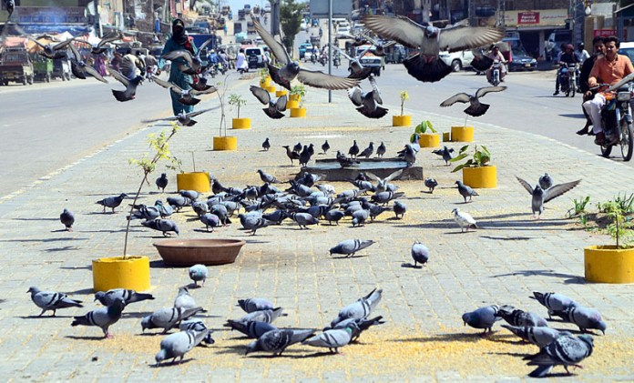 HYDERABAD: October 08 – A flock of pigeons picking feed from a footpath thrown people as mercy at Jail Road. APP photo by Farhan Khan