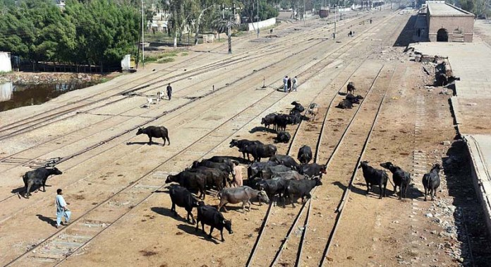 LARKANA: October 20 - A herd of buffaloes walking freely on the rail tracks near railway station may cause any mishap and needs the attention of concerned authorities. APP photo by Nadeem Akhtar