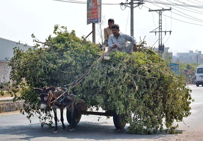 FAISALABAD: October 28 - Farmers on the way on donkey cart loaded with tree branches. APP photo by Tasawar Abbas