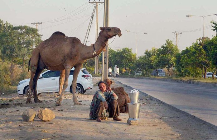 ISLAMABAD: October 15 – A gypsy woman waiting for customers to sell camel milk along the roadside at H-11 area in the federal capital. APP photo by Irshad Sheikh
