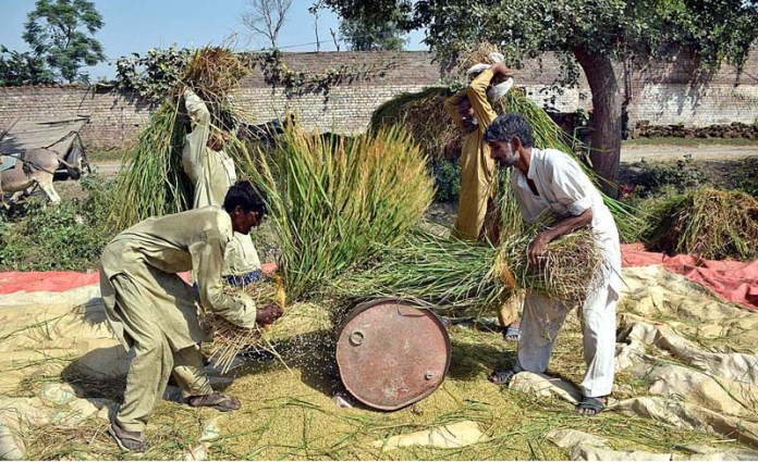 SIALKOT: October 08 - Farmers separating rice grains in the traditional way at their farm. APP photo by Muhammad Munir Butt