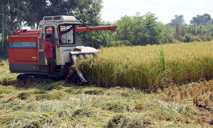 SIALKOT: October 08 - Farmer cutting rice crop with modern way at his farm . APP photo by Muhammad Munir Butt
