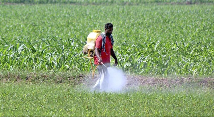 MULTAN: October 22 – Farmer busy in spraying pesticide at his farm field. APP photo by Tanveer Bukhari