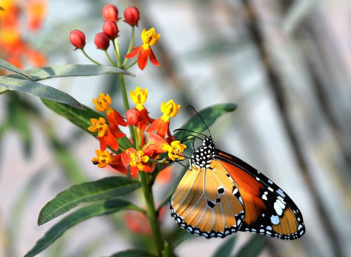 ISLAMABAD: November 02 - A butterfly is getting flower from a plant. APP photo by Amir Khan