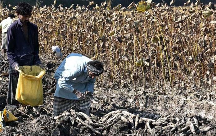 LARKANA: November 05 - Farmers collecting traditional vegetable beeh in their field near Wada Mehar Village. APP photo by Nadeem Akhtar