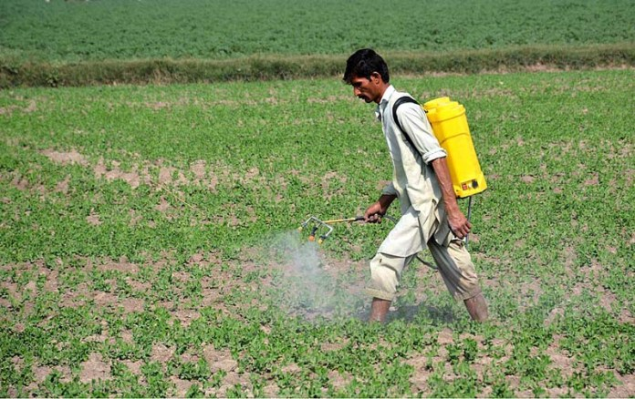 FAISALABAD: November 09 - Farmer busy in spraying pesticide in his peas field. APP photo by Tasawar Abbas