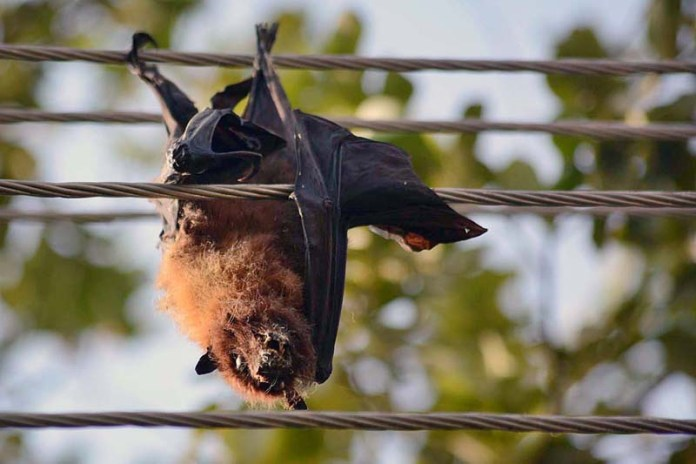 "PESHAWAR: November 11 – Electrocuted to death at University of Peshawar the mega bats/ Flying Fox pose threat to human and animal lives as according to a research by Yi Fan, Zheng Li Shi and Peng Zhou titled ""Bat Coronaviruses in China"" traced the origins of agents of Coronavirus, SARS, MERS and SADS to bats. These bats remain hanging with the electric wires until got rotten and mutilated in the environment. The University administration and wildlife department should pay attention to monitor the population of these bats besides properly disposing of their bodies to avoid serious repercussions to local population. Children are often seen plucking and collecting fruits from the trees which serve as habitat for these bats. APP photo by Shaheryar Anjum"