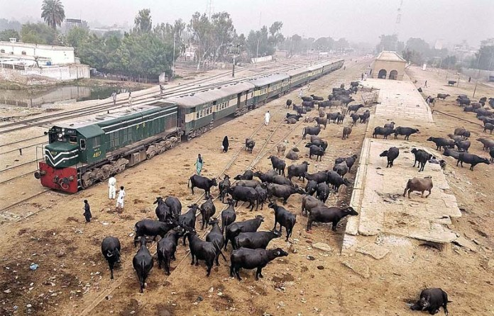 A herd of buffaloes walking freely on the railway tracks near Railway Station may cause any mishap and needs the attention of concerned authorities