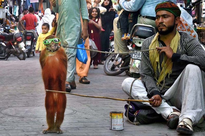 LAHORE: November 10 - A juggler performs monkey show to earn livelihood at a local market. APP Photo by Mustafa Lashari