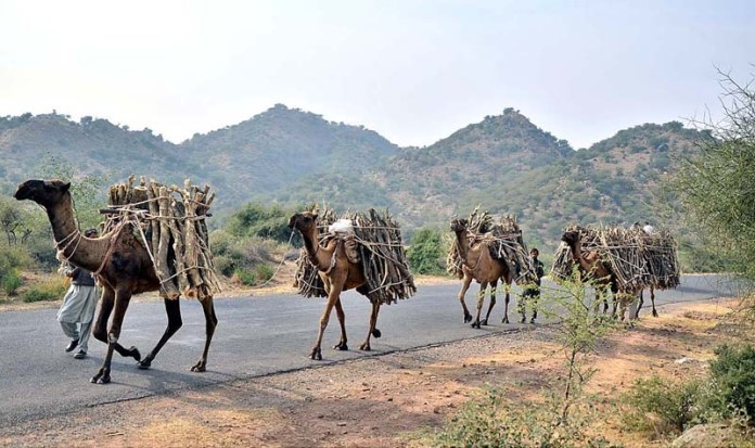 A view of camels on the way back loaded with tree branches as the people collecting from Kala Chitta mountains