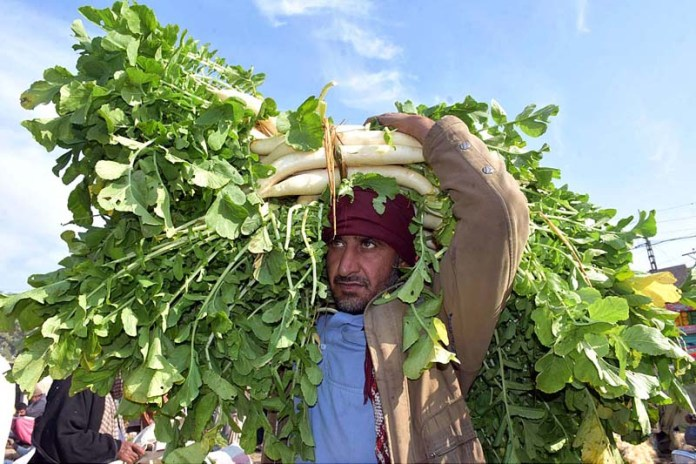 A labourer carrying radish after unloading from a delivery truck at Vegetable Market