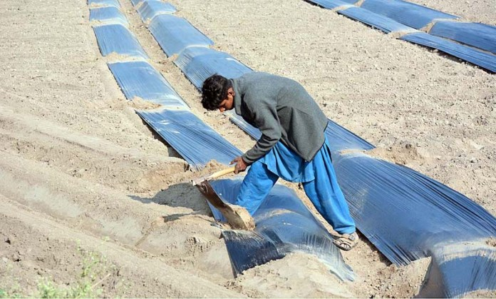 A farmer covering plants with plastic sheets to protect from chilled weather